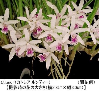 C.lundii(カトレア ルンディー)(分け株)