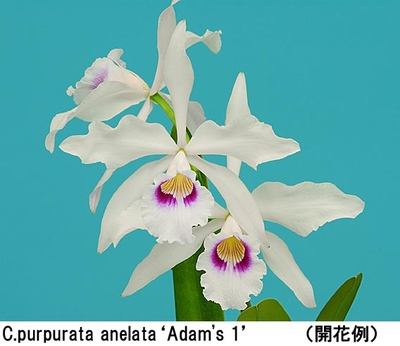 C.purpurata anelata'Adam's 1'(パープラタ アネラ-タ'アダムズ 1')MC