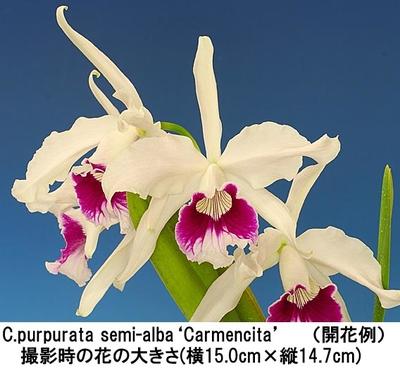 C.purpurata semi-alba'Carmencita'(パープラタ セミアルバ'カ-メンシ-タ')