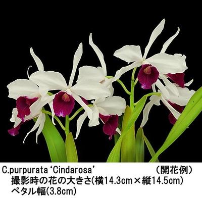 C.purpurata'Cindarosa'(パープラタ'シンダロ-サ')