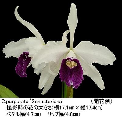 C.purpurata'Schusteriana'(パープラタ'シャステリアナ')