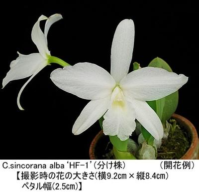C.sincorana alba'HF-1'(シンコラナ アルバ'HF-1')(分け株)