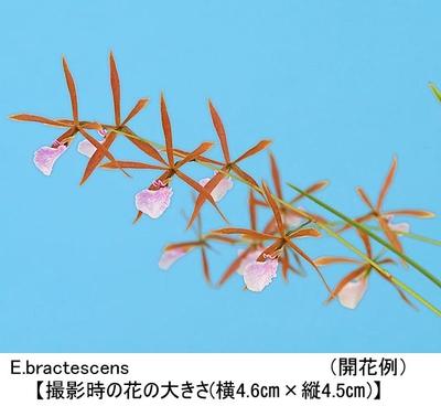 E.bractescens(エンシクリア ブラクテッセンス)