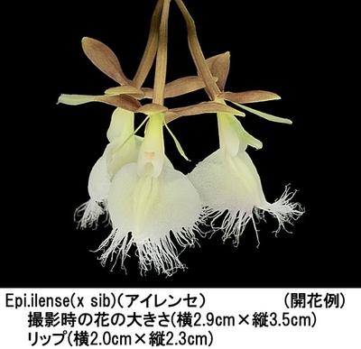 Epi.ilense(x sib)(エピデンドラム アイレンセ)