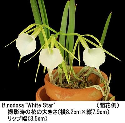 B.nodosa'White Star'(ブラサボラ ノドサ'ホワイト スター')(分け株)