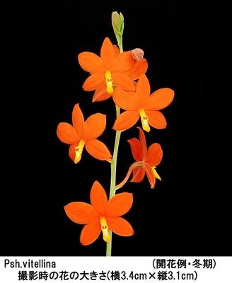 Psh.vitellina(プロステケア ビテリナ)