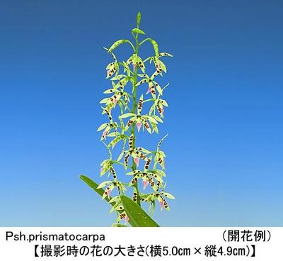 Psh.prismatocarpa(プリスマトカーパ)
