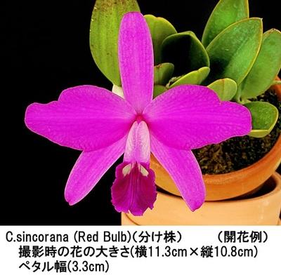 C.sincorana (Red Bulb)〈シンコラナ(レッドバルブ)〉(分け株)