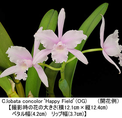 C.lobata concolor'Happy Field'(OG)(ロバータ コンカラー'ハッピー フィールド')(分け株)