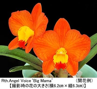 Rth.Angel Voice'Big Mama'(リンカトレアンセ エンジェル ボイス'ビッグ ママ')