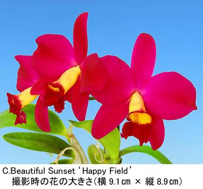 C.Beautiful Sunset'Happy Field'(ビューティフル サンセット'ハッピー フィールド')