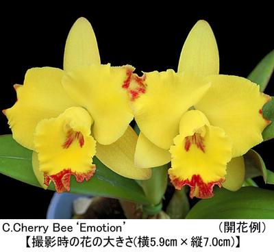 C.Cherry Bee'Emotion'(カトレア チェリー ビー'エモーション')