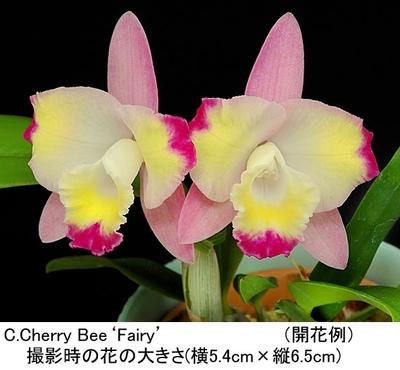 C.Cherry Bee'Fairy'(カトレア チェリー ビー'フェアリー')