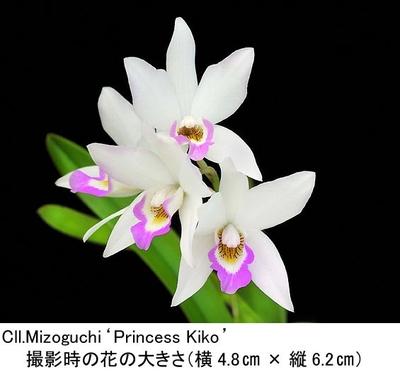 Cll.Mizoguchi 'Princess Kiko'(コウレリア ミゾグチ'プリンセス キコ')