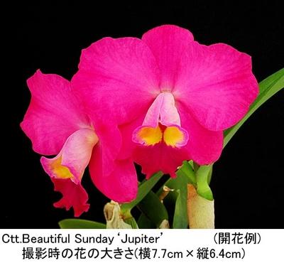 Ctt.Beautiful Sunday'Jupiter'(カトリアンセ ビューティフル サンデー'ジュピター')