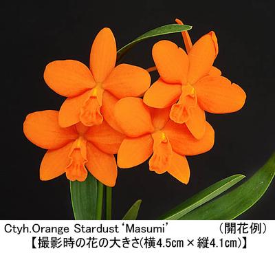 Ctyh.Orange Stardust'Masumi'(カトレイケア オレンジ スターダスト'マスミ')
