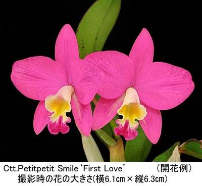 Ctt.Petitpetit Smile'First Love'(カトリアンセ プチプチ スマイル'初恋')