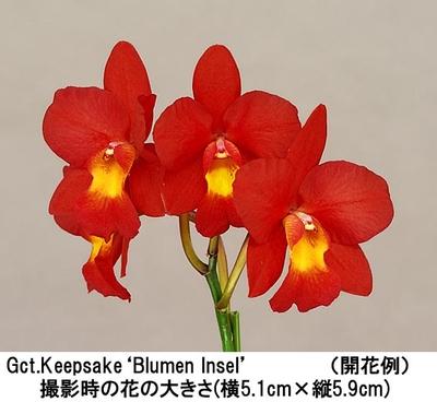 Gct.Keepsake'Blumen Insel'(グアリカトニア キープセーク'ブルーメン インセル')