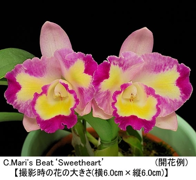 C.Mari's Beat'Sweetheart'(カトレア マリズ ビート'スウィートハート')