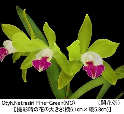 Ctyh.Netrasiri Fine-Green(MC)(カトレイケア ネトラシリ ファイン グリーン)