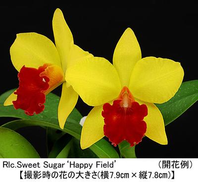 Rlc.Sweet Sugar'Happy Field'(リンコレリオカトレア スウィート シュガー'ハッピー フィールド')