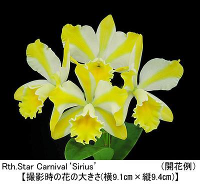 Rth.Star Carnival'Sirius'(リンカトレアンセ スター カーニバル'シリウス')