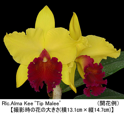 Rlc.Alma Kee'Tip Malee'(リンコレリオカトレア アルマ キー'ティップ マリー')