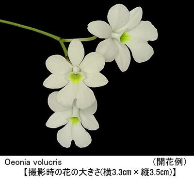 Oeonia volucris(オエオニア ボルクリス)