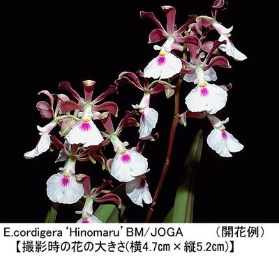 E.cordigera'Hinomaru'BM/JOGA(エンサイクリア コーディゲラ'ヒノマル')