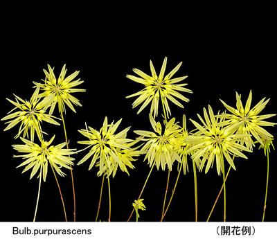Bulb.purpurascens(バルボフィラム パープラッセンス)