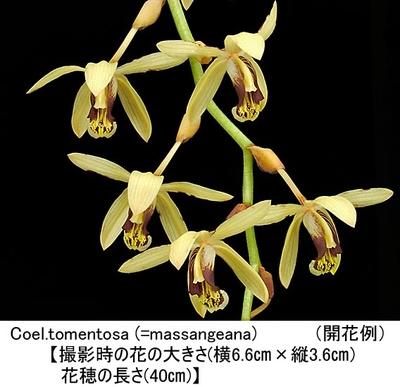 Coel.massangeana(=tomentosa)【セロジネ マッサンギアナ(=トメントサ)】
