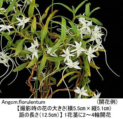 Angcm.florulentum(アングレカム フロールレンタム)