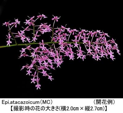 Epi.atacazoicum'Pink Mist'(エピデンドラム アタカゾイカム'ピンク ミスト')