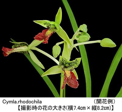 Cymla.rhodochila(シンビディエラ ロードキラ)