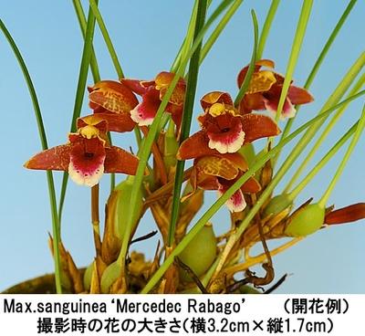 Max.sanguinea'Mercedec Rabago'(サンギニア'メルセデック ラバゴ')