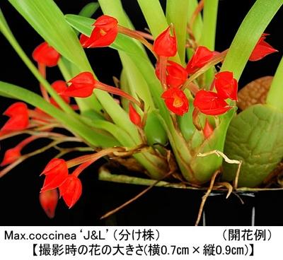 Max.coccinea'J&L'(マキシラリア コクシネア'J&L')(分け株)