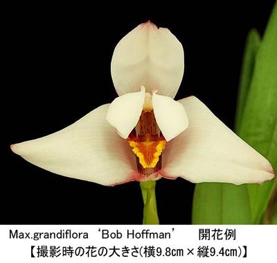 Max.grandiflora'Bob Hoffman'(グランディフローラ'ボブ ホフマン')(分け株)