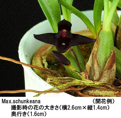 Max.schunkeana(マキシラリア シュンケアナ)