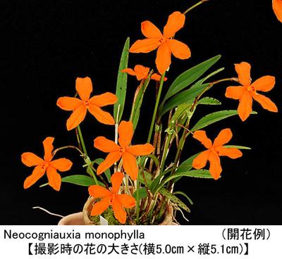 Neocogniauxia(Nga.) monophylla(ネオコグニアウキア モノフィラ)
