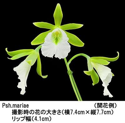 Psh.mariae(プロステケア マリエ)