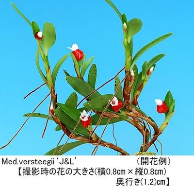Med.versteegii'J&L'(メディオカルカ- バーステ-ジ-)