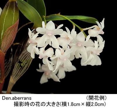 Den.aberrans(アベランス)