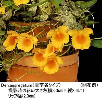 Den.aggregatum(アグレガタム 雲南省タイプ)