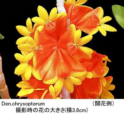 Den.chrysopterum(クリソプテラム)