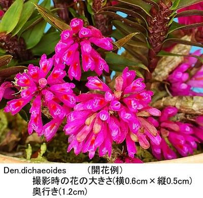 Den.dichaeoides(ディカエオイデス)