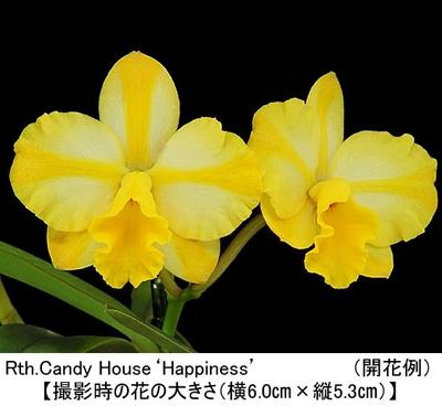 Rth.Candy House'Happiness'(リンカトレアンセ キャンディー ハウス'ハピネス')