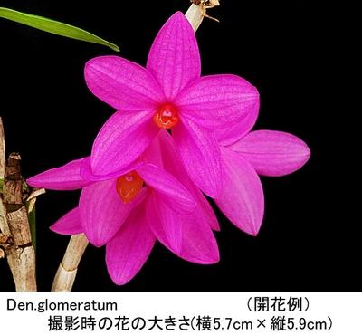 Den.glomeratum(グロメラタム)