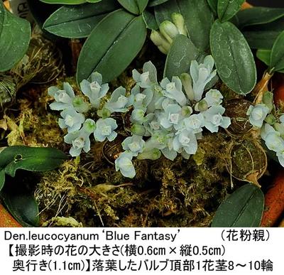 Den.leucocyanum(×sib)【リューコサイアナム(実生)】