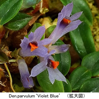 Den.parvulum'Violet Blue'(パルブラム'バイオレット ブルー')分け株