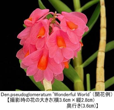 Den.pseudoglomeratum'Wonderful World'SM/JOGA(シュードグロメラタム'ワンダフル ワールド')